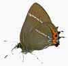 image of white-letter hairstreak butterfly