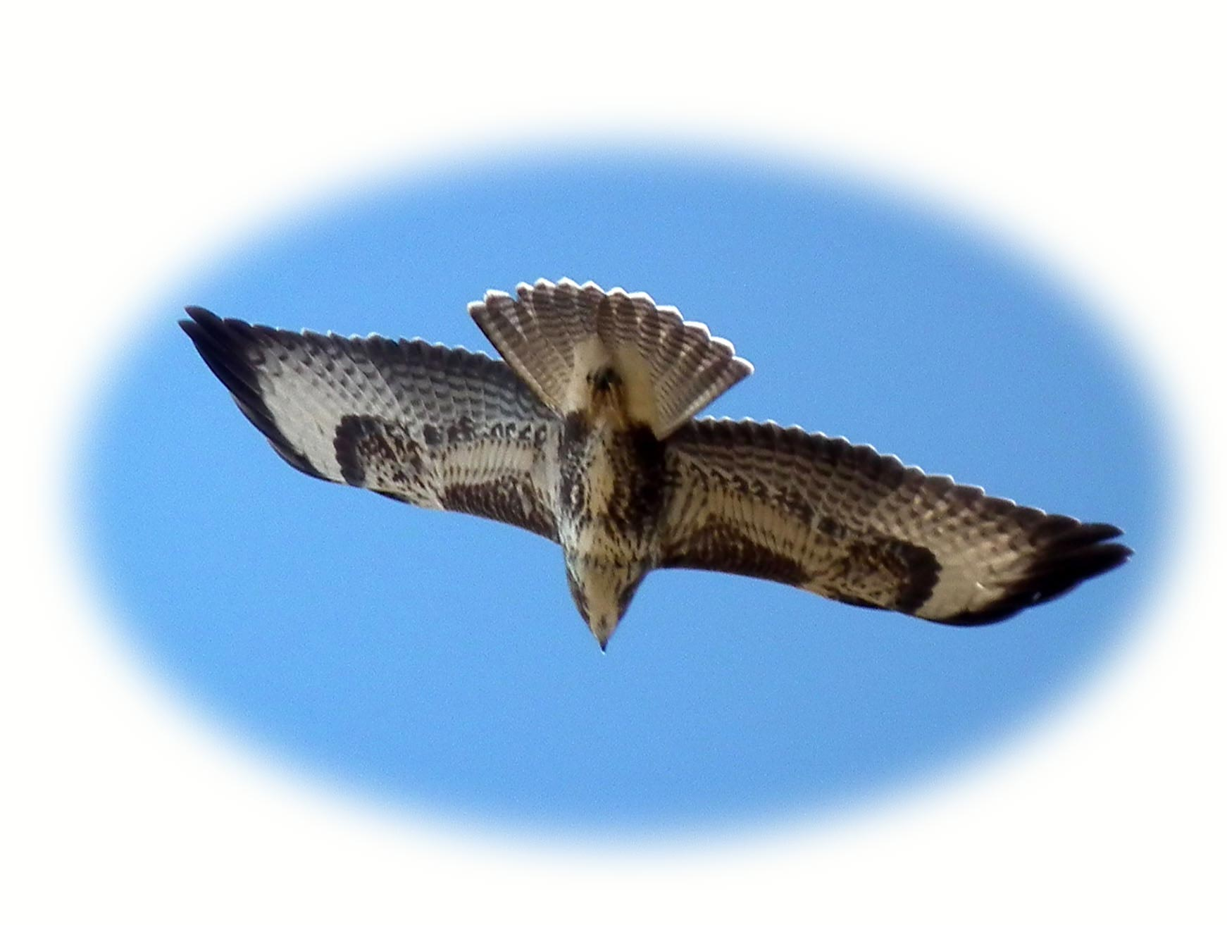 image of buzzard