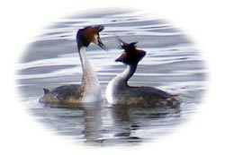 image of grebes
