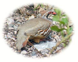 image of partridge