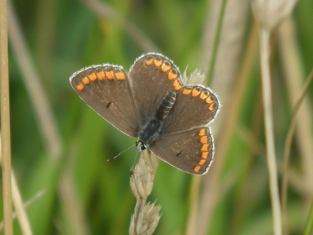 Photo of Brown Argus