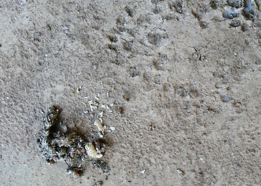 Photo of possible Otter spraint and prints