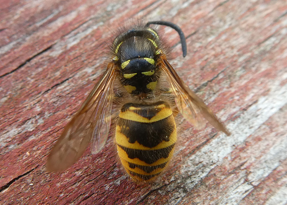 Photo of Common Wasp