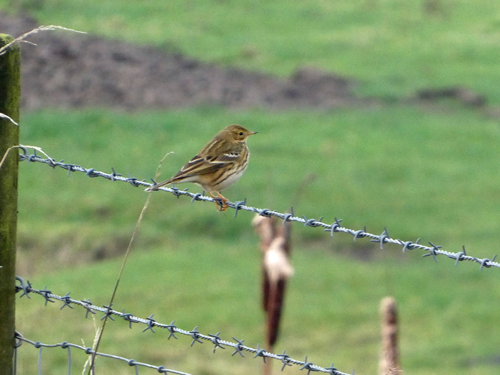 Photo of Meadow Pipit