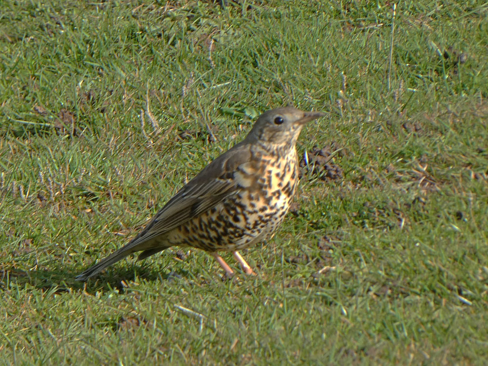 Photo of Mistle Thrush