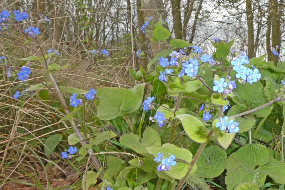 Photo of Great Forget-me-not