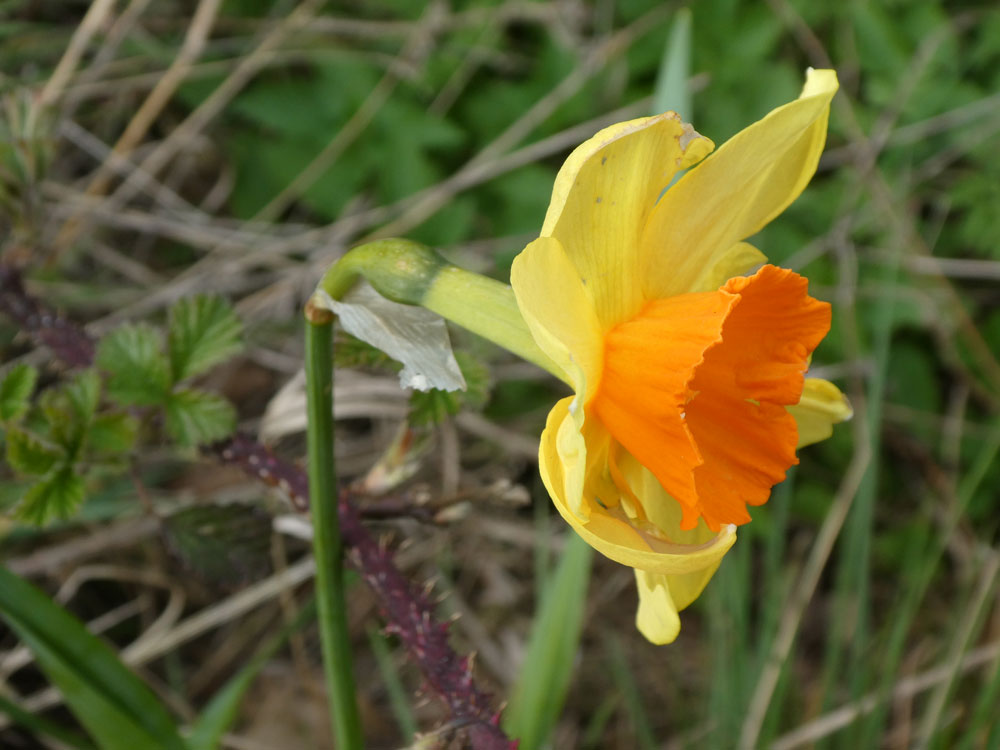 Photo of Nonesuch Daffodil