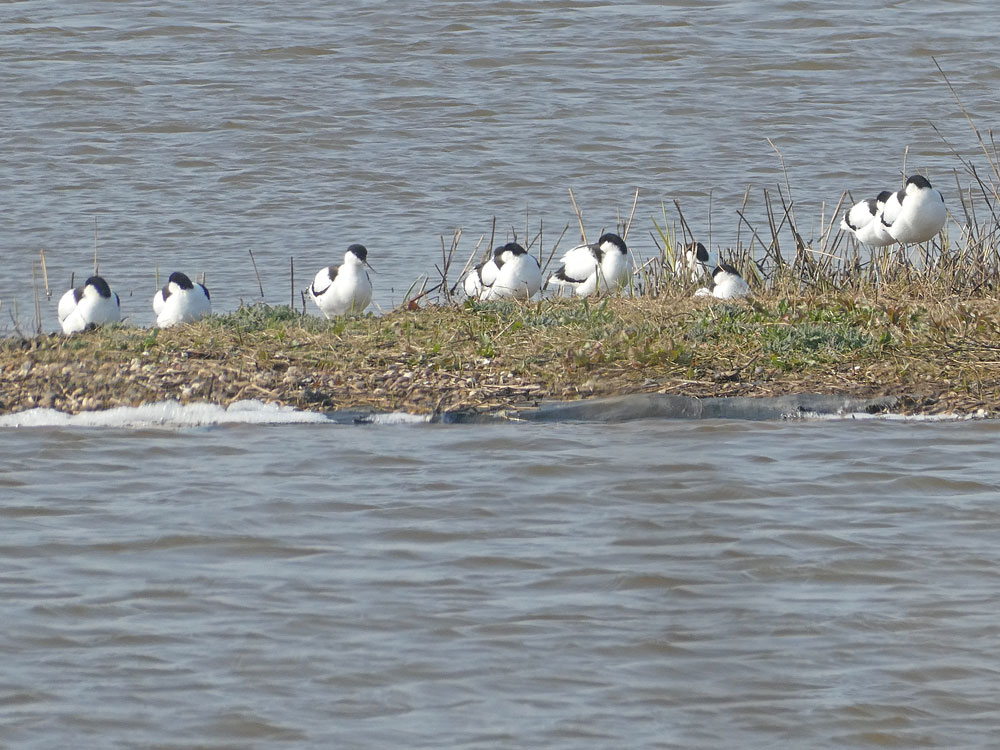 Photo of Avocet
