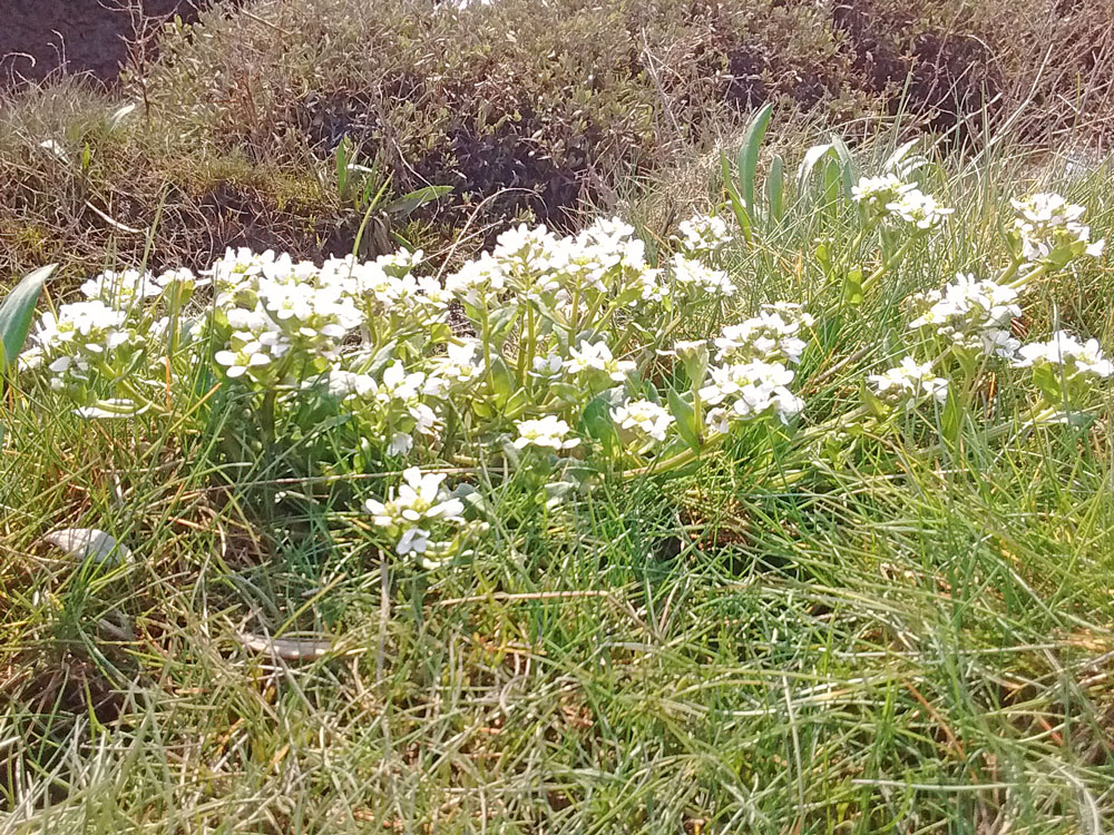 Photo of English Scurvygrass