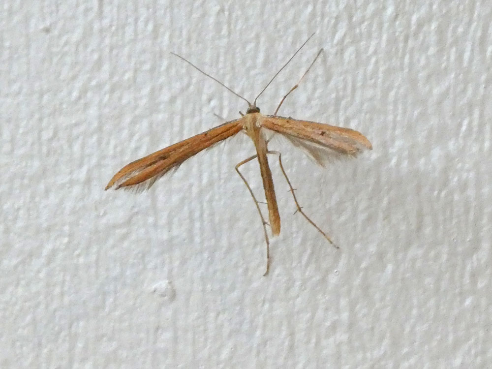 Photo of Brown Plume moth