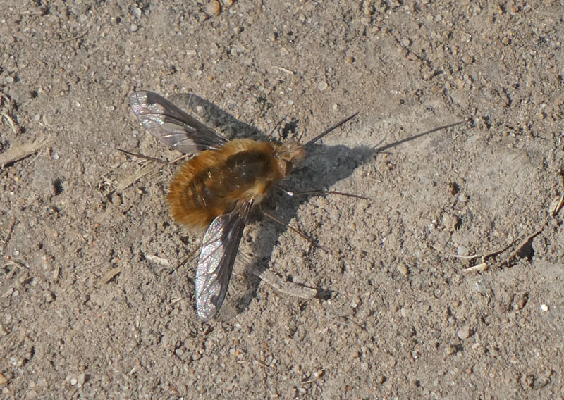 Photo of Dark-edged Bee-fly