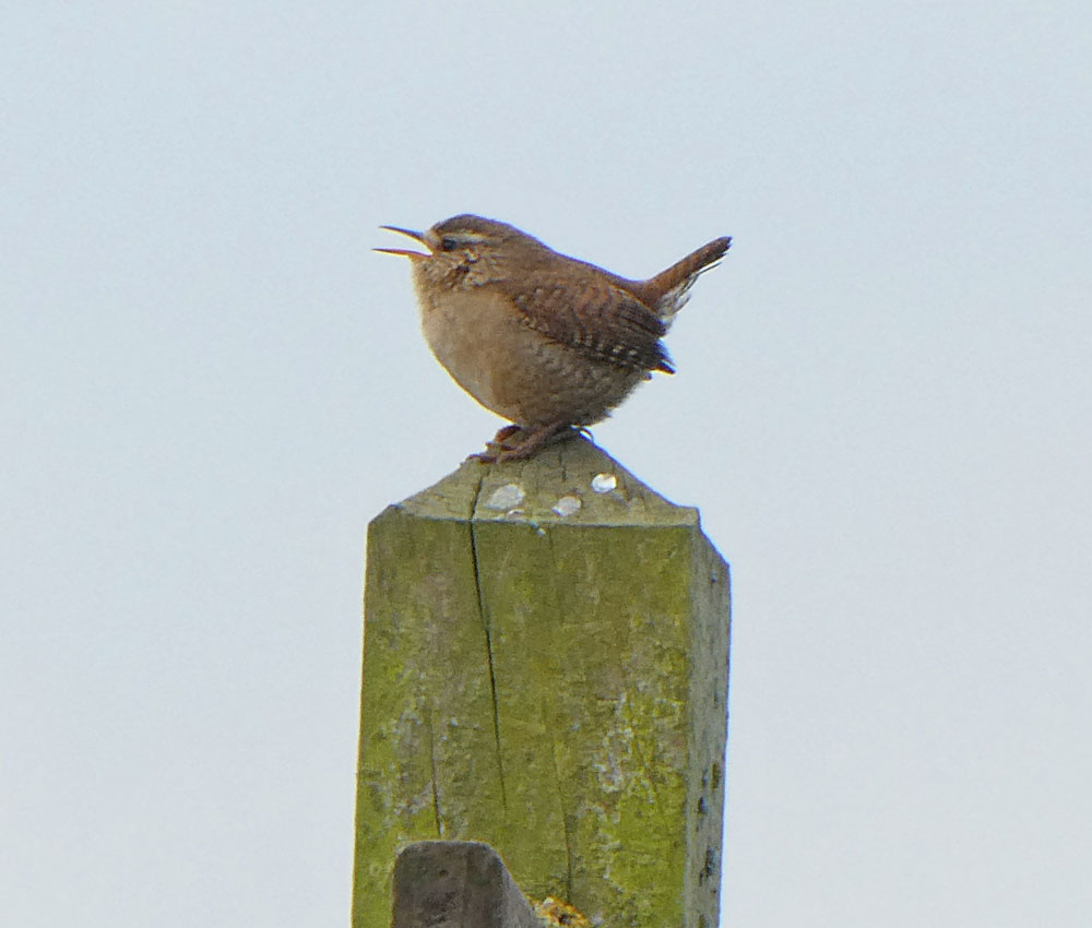 Photo of Wren