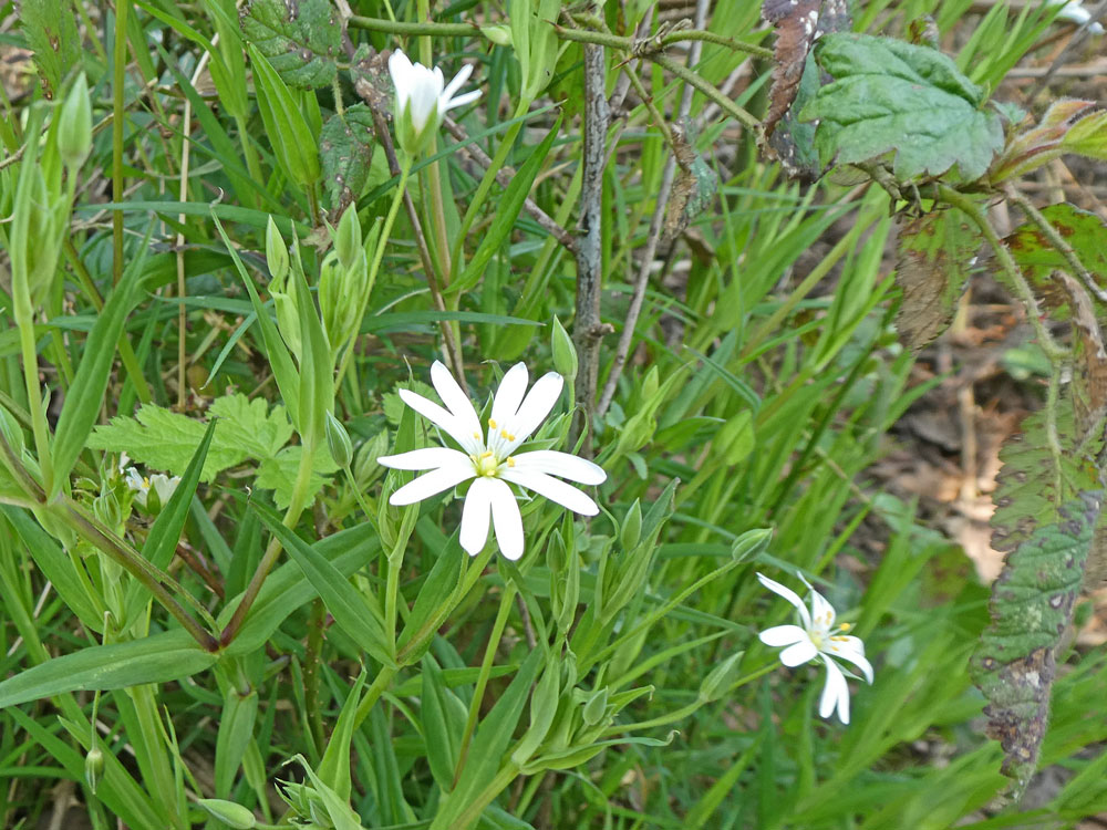 Photo of Greater Stitchwort