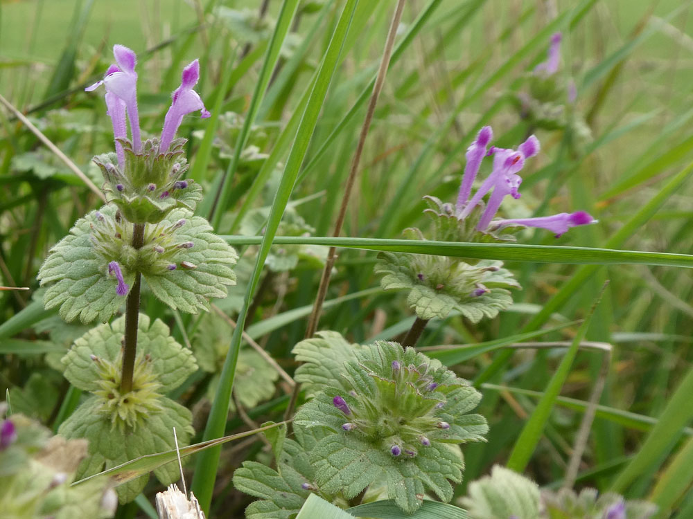 Photo of Henbit Dead-nettle