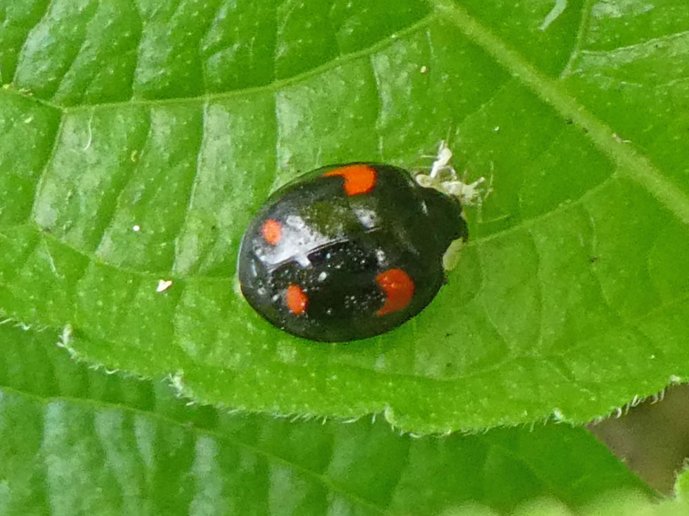 Photo of Harlequin Ladybird form spectabilis