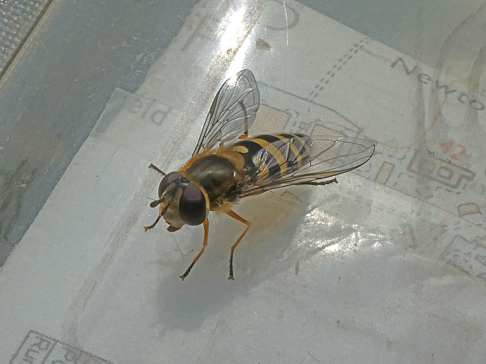 Photo of Syrphus ribesii