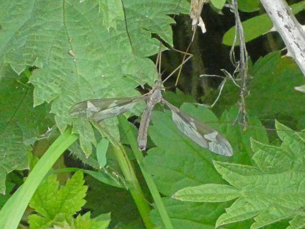 Photo of Giant Cranefly