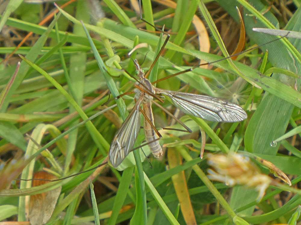 Photo of <i>Tipula vernalis</i>