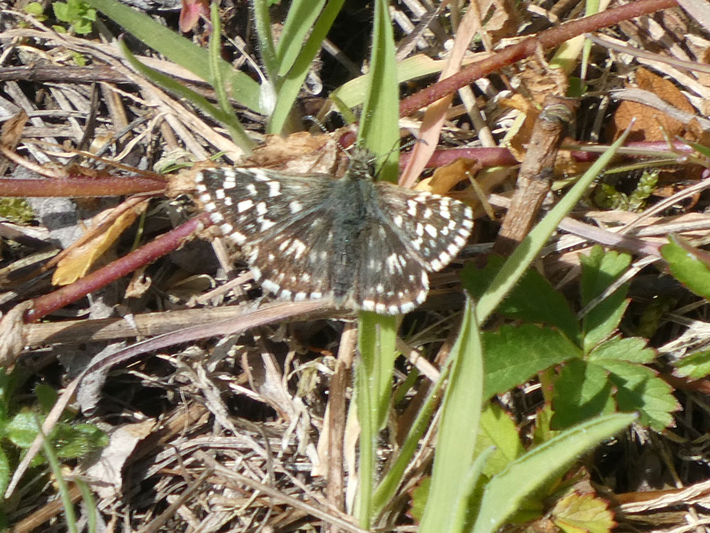 Photo of Grizzled Skipper