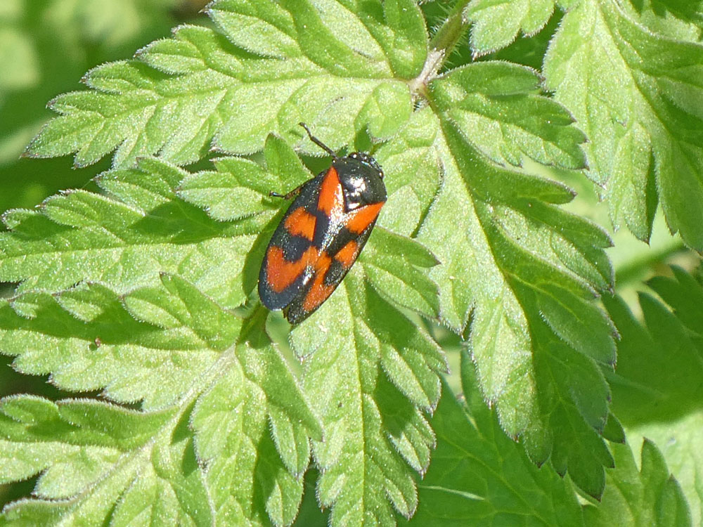 Photo of Red and Black Froghopper