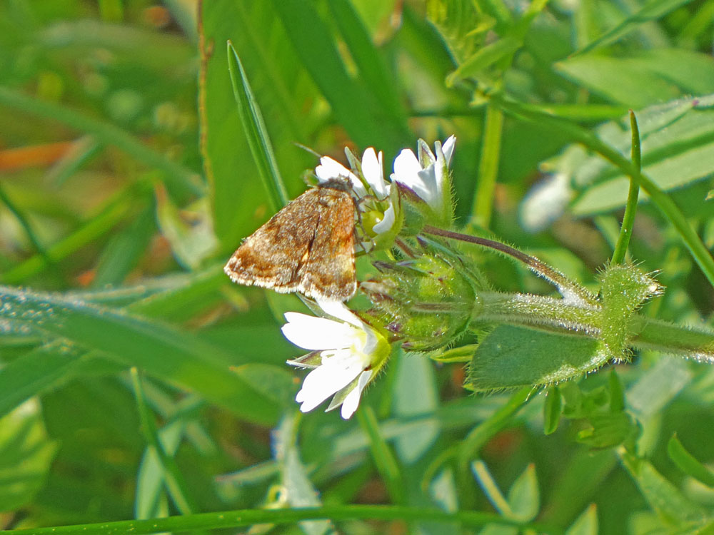 Photo of Small Yellow Underwing